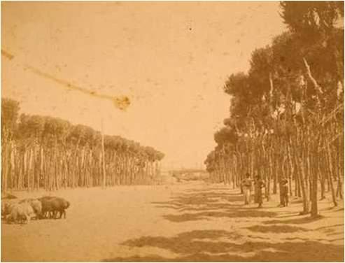 Horsh Beirut 1889