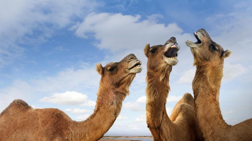 Camels_braying_Pushkar_Camel_Festival_Pushkar_Rajasthan_India_20121118